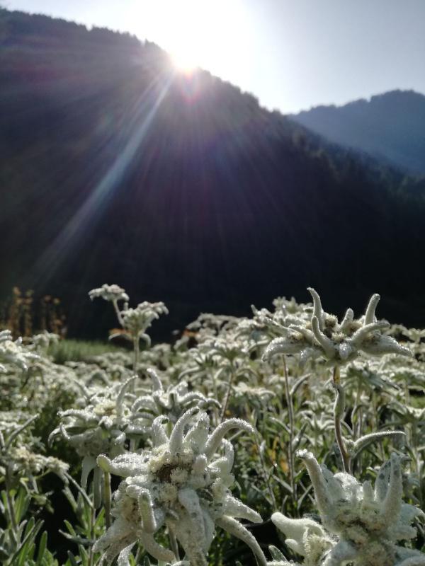 olgacasanova stella alpina