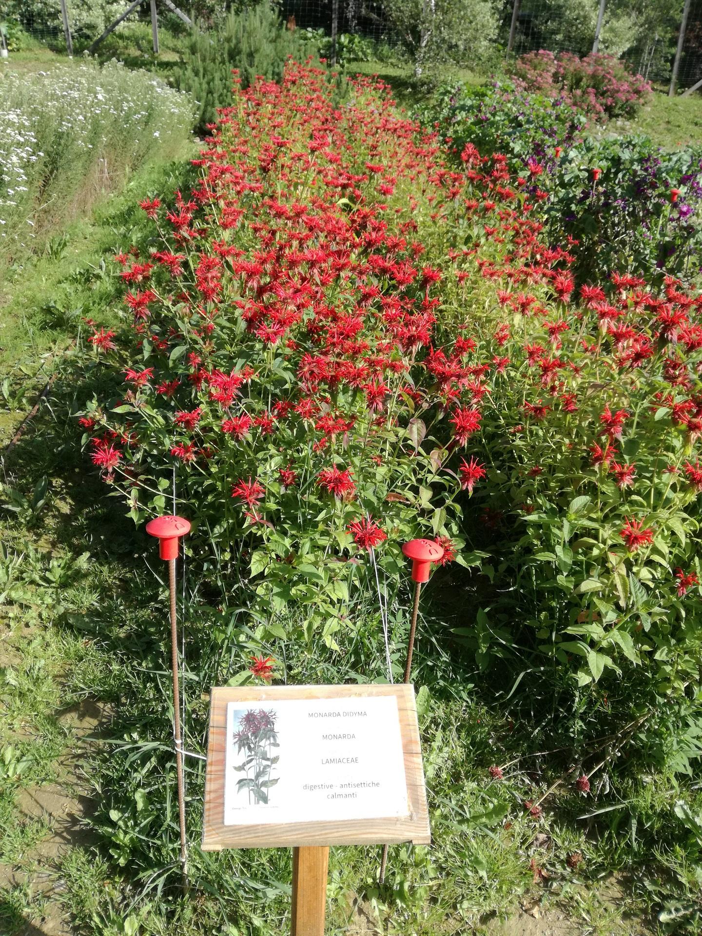 stella_alpina-edelweiss-coltivazione-peio-valdisole-trentino-Olga_Casanova