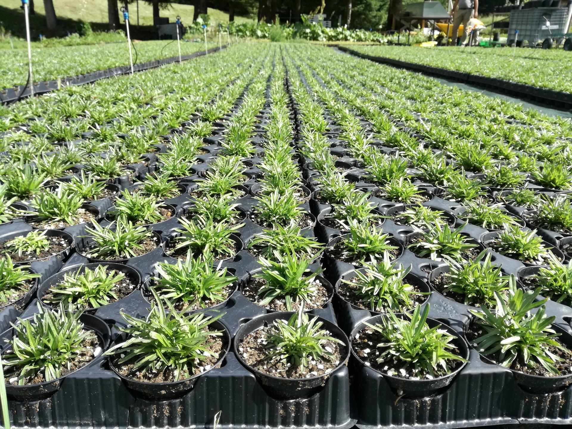 Arnica Montana coltivazione  Peio Valdisole Trentino - Olga Casanova