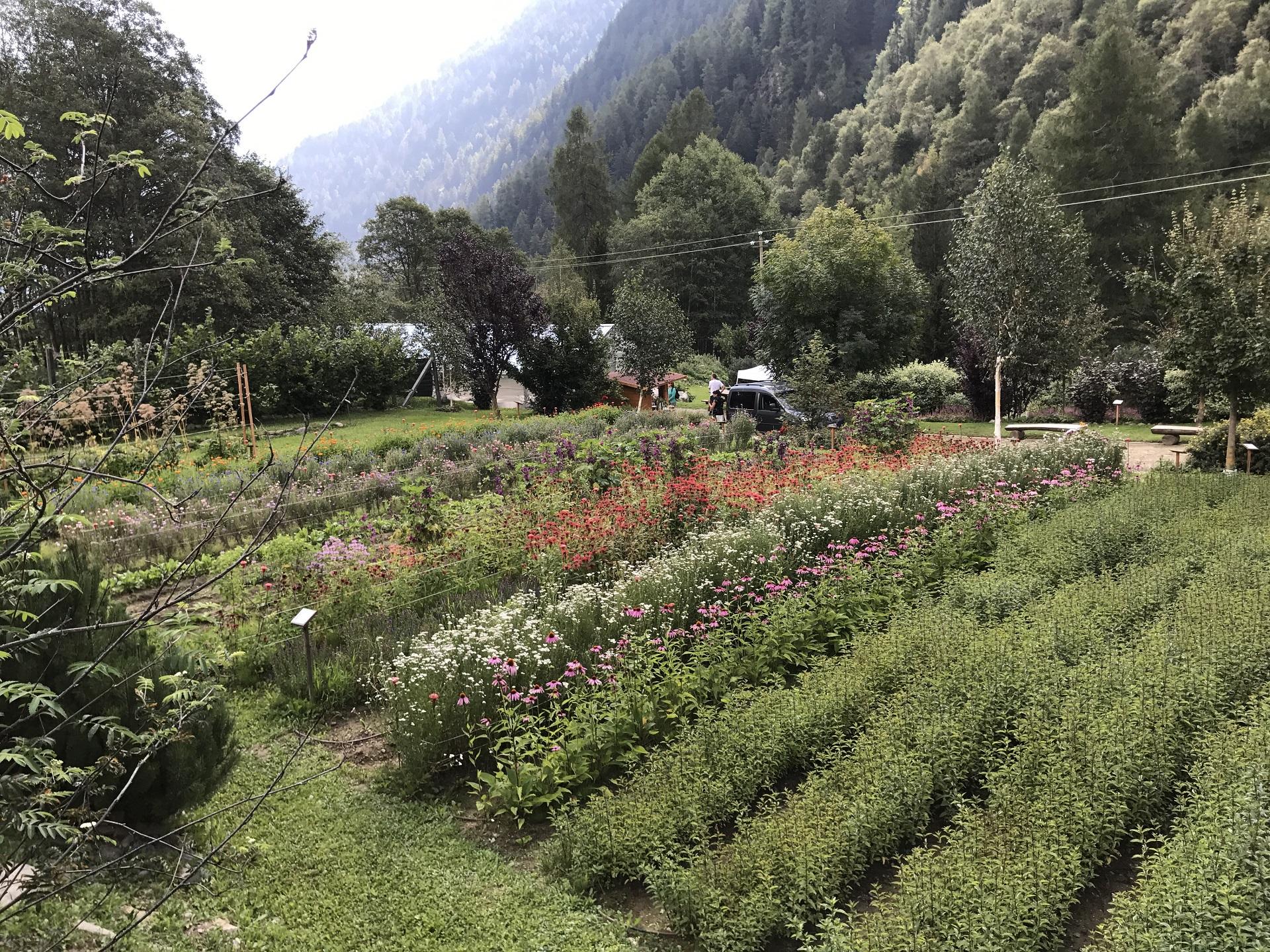 radicchio dell'orso ( Cicerbita Alpina ) Piante Officinali coltivazione Peio Valdisole Trentino - Olga Casanova