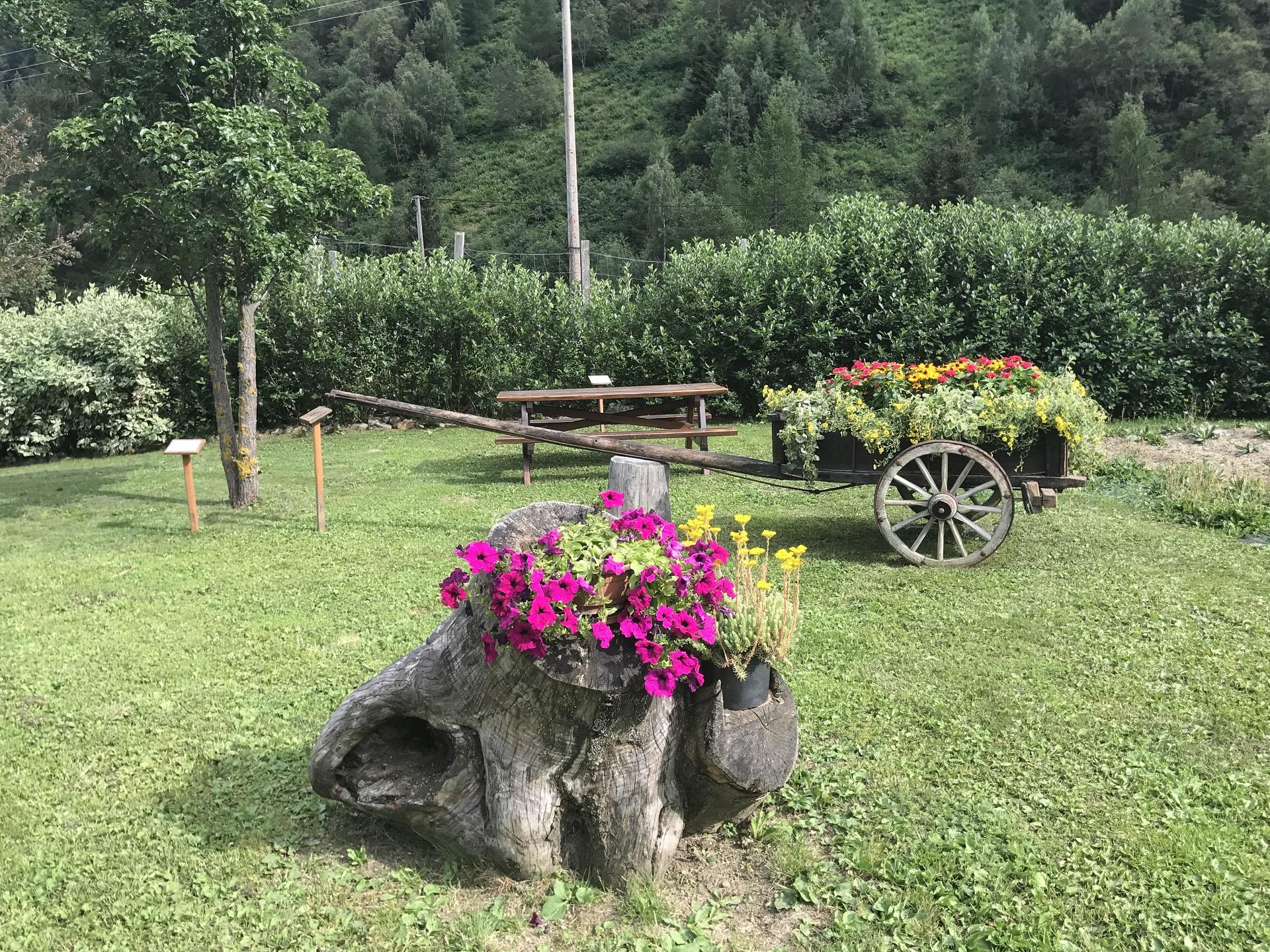 Malva Piante Officinali coltivazione Peio Valdisole Trentino - Olga Casanova